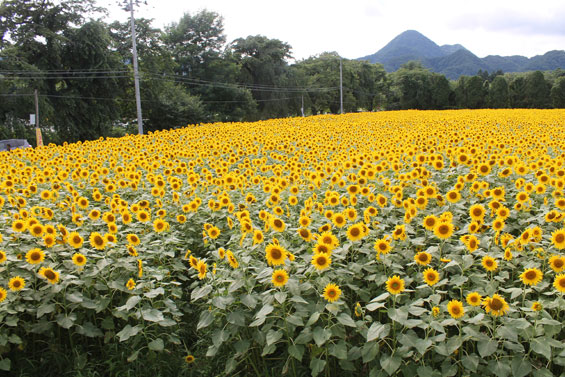 矢巾町のひまわり畑011