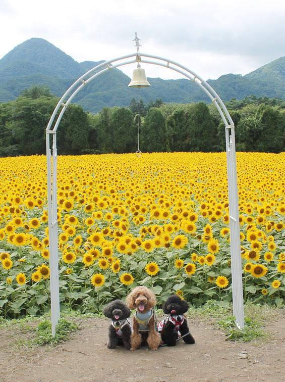 矢巾町のひまわり畑≪幸せを呼ぶ鐘≫