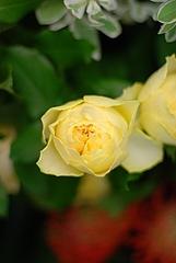 ラ・カンパネラ(変わり咲き)