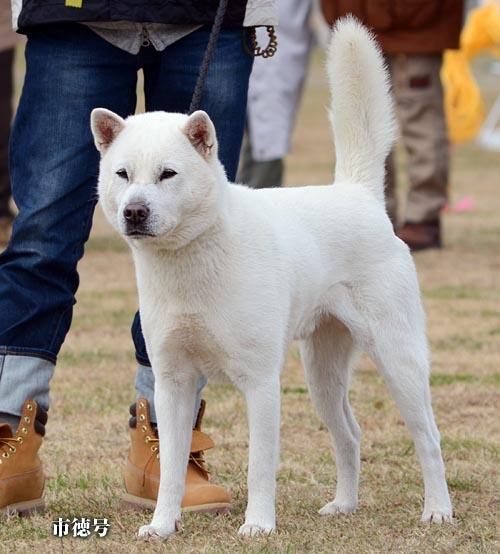 紀州犬の画像 p1_12
