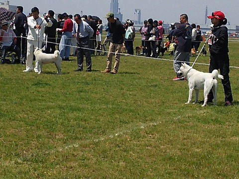 紀州犬の画像 p1_32