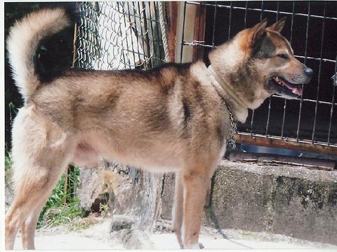 紀州犬の画像 p1_27