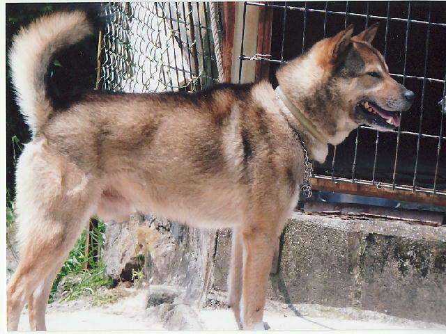 紀州犬の画像 p1_31