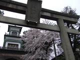 尾山神社の桜