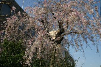戸田市の桜