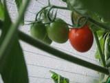 色づくミニトマト