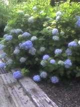 戸田市万葉のはな道の紫陽花