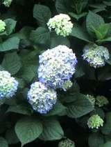 戸田市万葉の道の紫陽花
