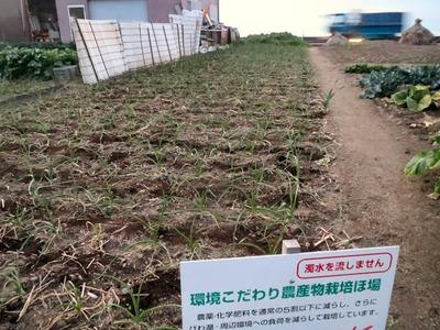 ニンニク畑への追肥