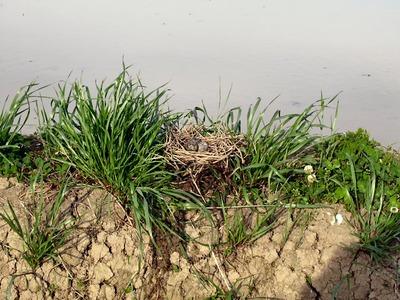 巣は畔の上へ移動
