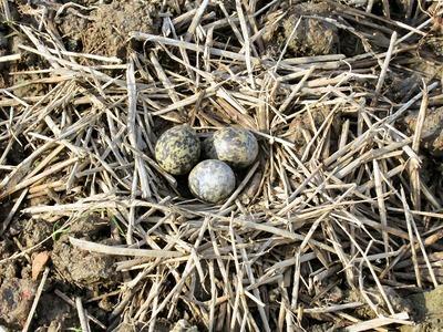 田面に野鳥の巣と卵