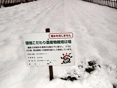 雪のホウレンソウ畑