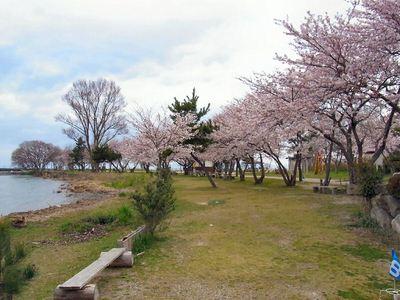 朝妻港湖岸の桜