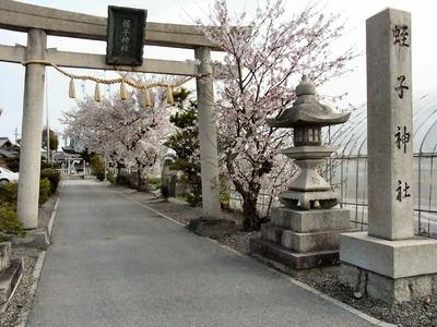 蛭子神社の桜