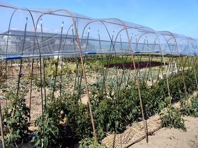 トマトの雨避けハウス
