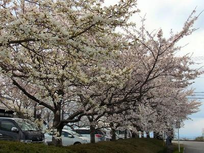近江母の郷の桜とコブシ