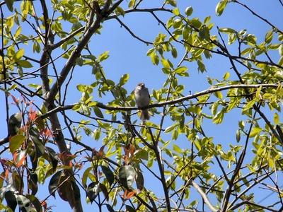 柿の木のスズメ