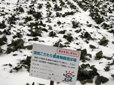 雪の下になったホウレンソウ