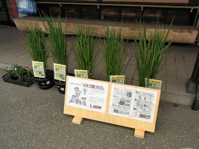 バケツ稲の販売