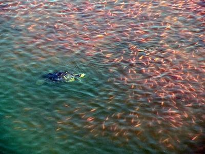 金魚を追う亀