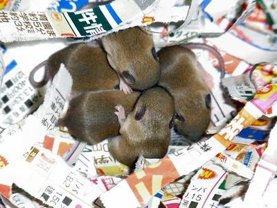ネズミ5匹