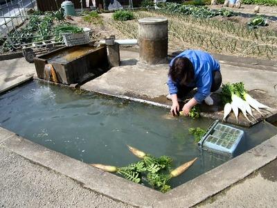 カナボウで大根を洗う