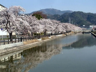 承水溝の桜