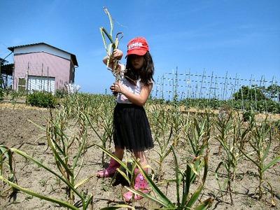 ニンニクの収穫(朝)