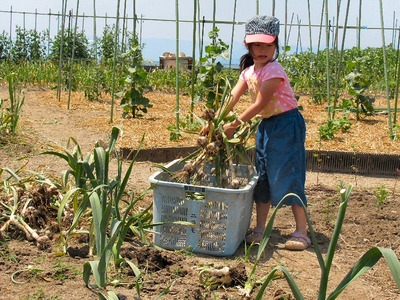 ニンニクの収穫(昼)