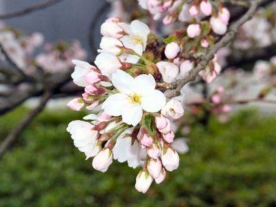 道の駅母の郷の桜
