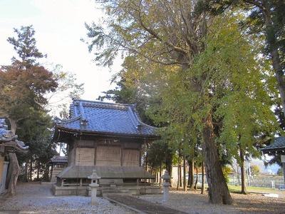 春日神社のイチョウの木