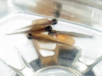ビワマスの稚魚
