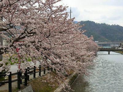 賀目山の桜