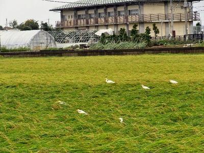 稲の間で風をよけるシラサギ