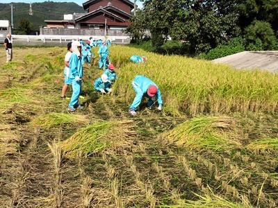稲刈り(山東小学校)