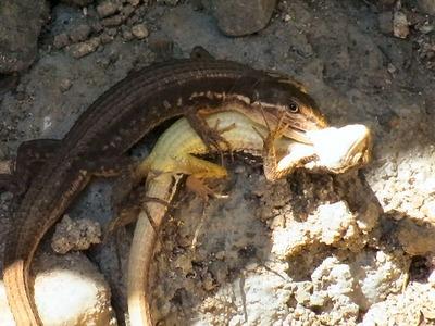 カナヘビの交尾2