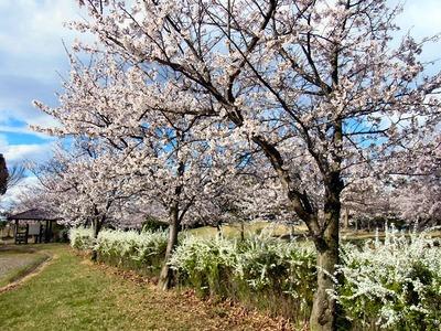 桜公園のユキヤナギ