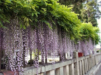 春日神社の藤