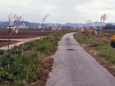 霞堤の桜並木