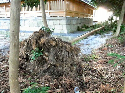 春日神社での倒木