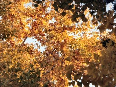 樹上のギンナン