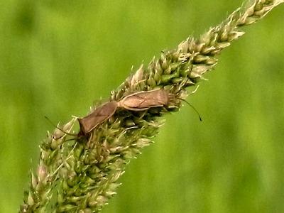 ヒエの穂についているカメムシ
