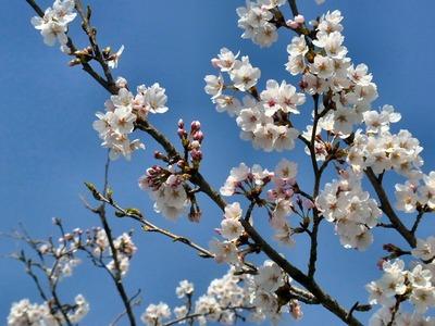坂田小学校前の桜