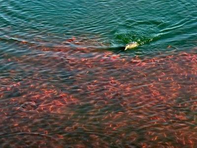 金魚の群れを追い回すカイツブリ