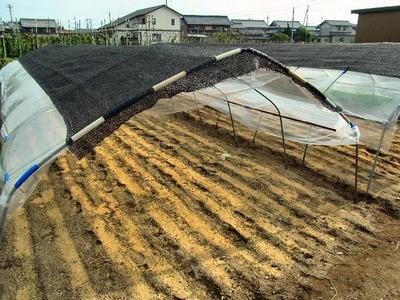 雨避け栽培