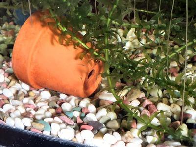 フナの稚魚