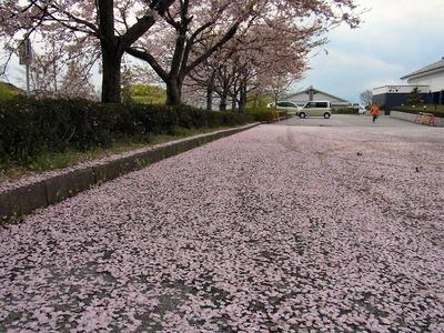 桜花じゅうたん