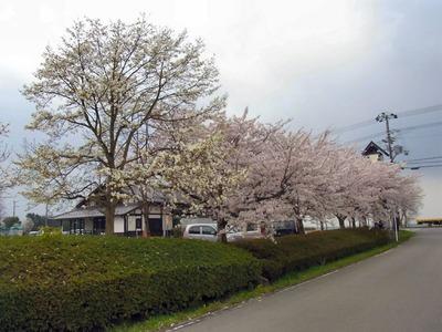 母の郷の桜とコブシ