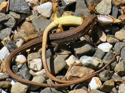 カナヘビの交尾1