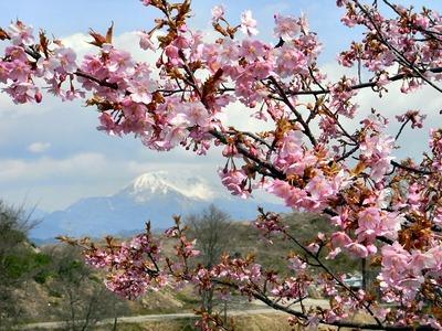 桜と伊吹山